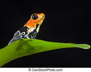 poison frog - frog in Amazon rainforest Peru tropical...