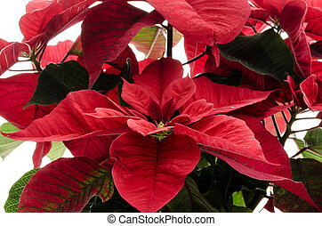 Christmas flower Poinsettia - Closeup of red Christmas...