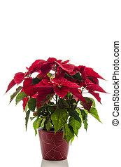 Christmas flower Poinsettia - Red Christmas flower...
