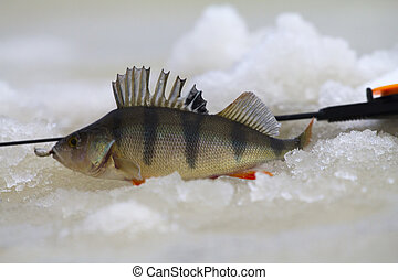 freshwater perch fishing - freshwater perch on the ice...