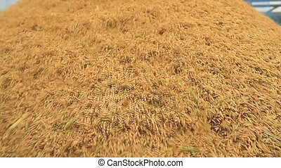 Rice farm