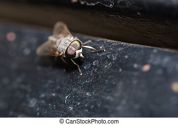 Horse Fly or Tabanus sulcifrons in the nature