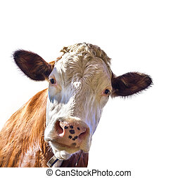 Portrait of a cute cow - Cow isolated on white background