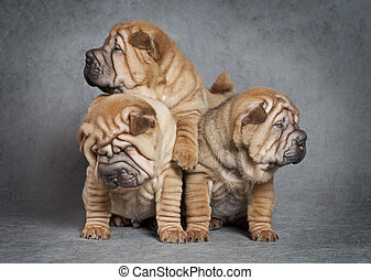 Sharpei puppy dogs - One month old sharpei puppies against...
