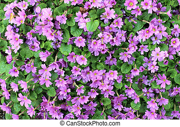 pink shrub - A bunch of pink flowers growing on a small...
