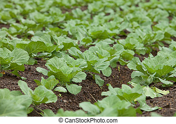 Green vegetable growing in field Green is a common vegetable...