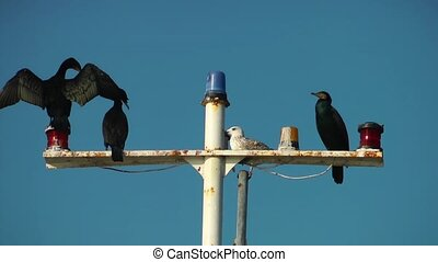 cormorants on the ship pole - Cormorants are standing on the...