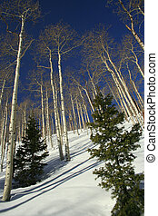 White Birch Trees in Utah Snow - White Birch Trees in the...
