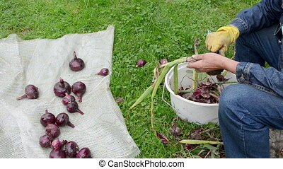 red onion hand woman - Granmother hand peel red ripe onion....