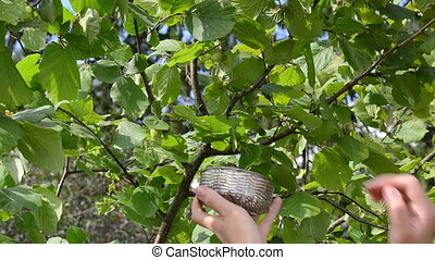 woman pick hazel nut - Woman hand gather ripe hazelnut