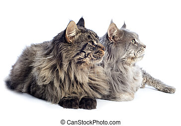 maine coon cats - portrait of a purebred maine coon cats on...