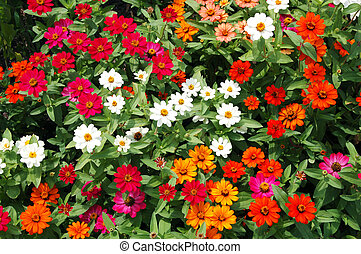 zinnia flower carpet