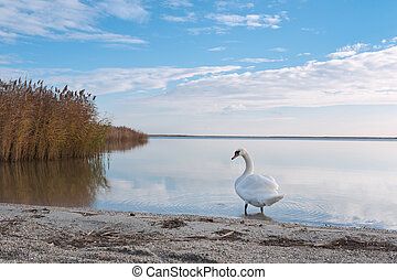 Swan on the lake shore - White swan at european lake with...