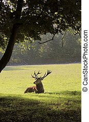 Deer lying in a forest clearing - Male red deer in a forest...