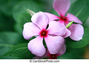 Pink Rosy Periwinkle Flowers Catharanthus roseus close up