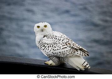 Snowy Owl Resting on Gunwale