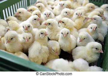 Large group of young chickens in green plastic box on...