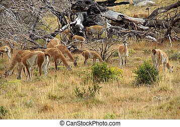Guanacos in Chile - Guanacos in the pampas of Patagonia, in...