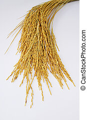 paddy rice on isolate white background