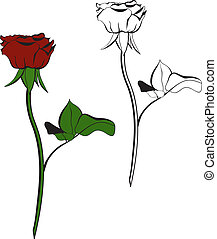 Red rose on a white background.
