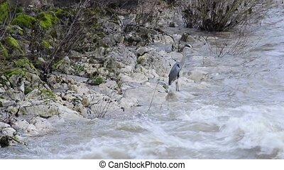 Grey heron at a river druing snow-melt