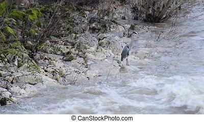 Grey heron at a river druing snow-melt