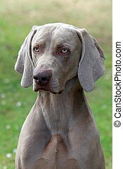 Weimaraner Short-haired - Portrait of Weimaraner...
