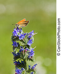 In the sunshine - Small orange butterfly on a blue meadow...