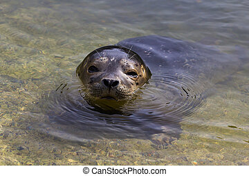 Common seal (Phoca vitulina) - Common seal resting on the...