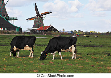 Charming Dutch pastoral Cows grazing on lush grass not far...