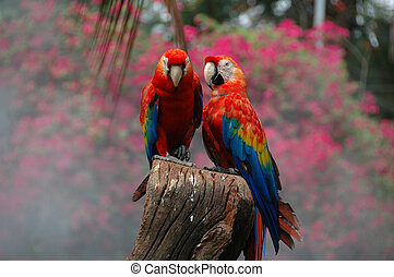 Scarlet Macaw Ara macao - A colourfull Parrot from South...