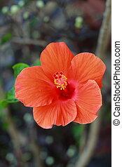 Flower orange Hibiscus flower