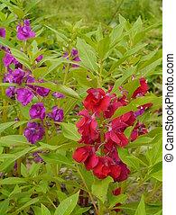 Red and violet flower of Impatiens balsamina - Violet flower...