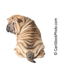 Portrait of sharpei puppy dog isolated over white