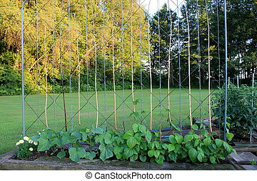 Growing green beans - Homemade fencing in garden that trains...