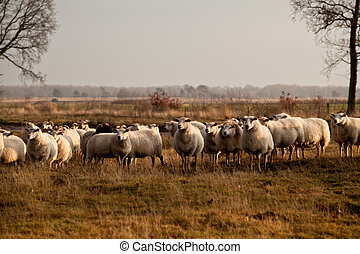 sheep herd in Dwingelderveld on outdoors pasture,...