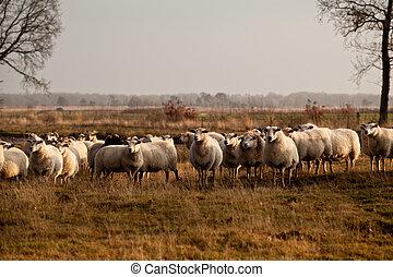sheep herd in Dwingelderveld on outdoors pasture,...