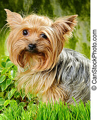 small dog - cute yorkshire terrier on the grass