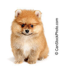 spitz dog - pomeranian puppy the age of 2 month isolated on...