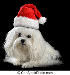lap-dog - maltese dog isolated on the black background