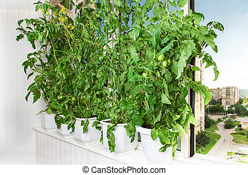 Tomato bushes in pots - Growing tomatoes in pots on the...