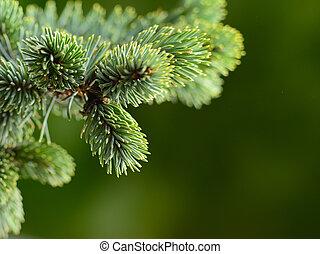 fir tree - branch blue fir tree