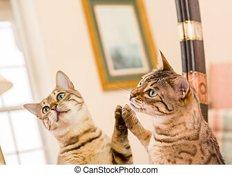 Orange brown bengal cat reflecting in mirror - Orange and...