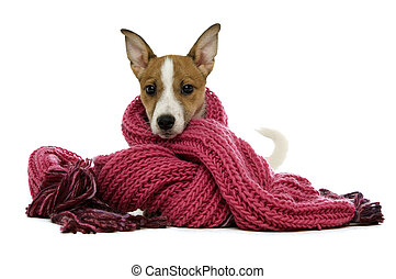 Jack Russell Terrier wrapped in a pink scarf isolated on a...