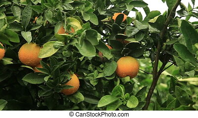 Orange and Orange tree