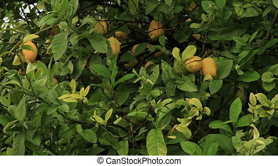 lemon and Lemon tree