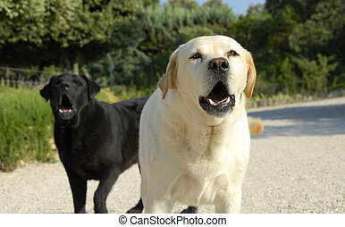 barking dogs - two purebred labradors retrievers barking in...