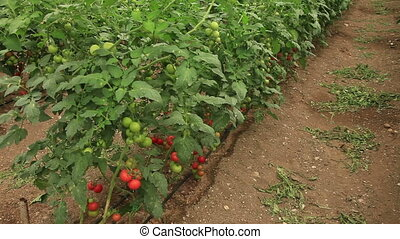 Organic Agriculture - Tomatoes growing in a greenhouse
