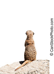 Portrait of a meerkat (or Suricate) on white background