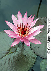 Lotus - Big pink lotus on the pond, Sumatra, Indonesia...